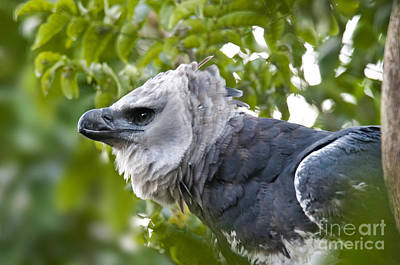 Harpy Eagle Photograph - Harpy Eagle by Mark Newman
