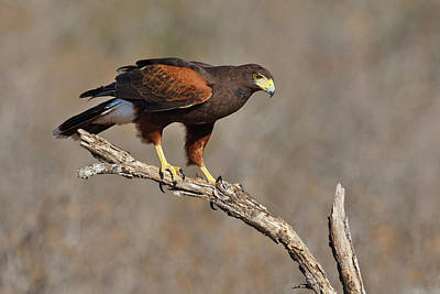 Starr Photograph - Harris's Hawk (parabuteo Unicinctus by Larry Ditto