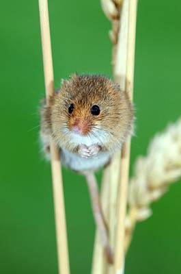 Small Rodents Photograph - Harvest Mouse by Colin Varndell