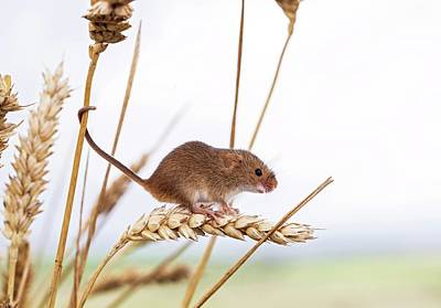 Monocot Photograph - Harvest Mouse On Wheat by John Devries