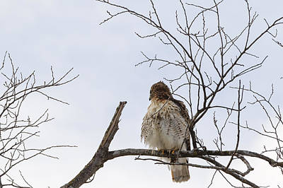 Photograph - Hawk  by Peter Lakomy