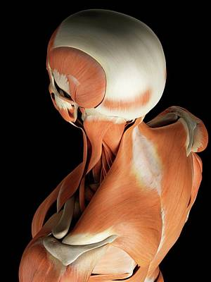Human Head Photograph - Head And Neck Muscles by Sciepro