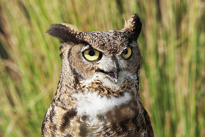 Great Horned Owl Wall Art - Photograph - Head And Shoulders Of A Great Horned by Piperanne Worcester