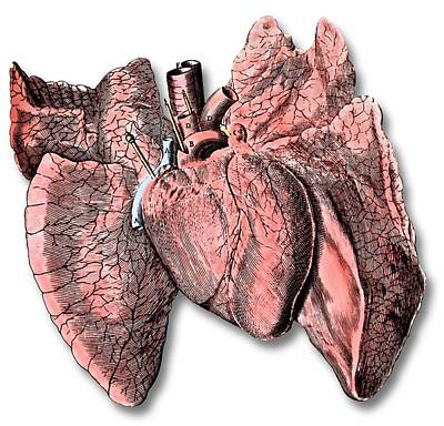 Heart And Lung Anatomy Art Print by Science Photo Library