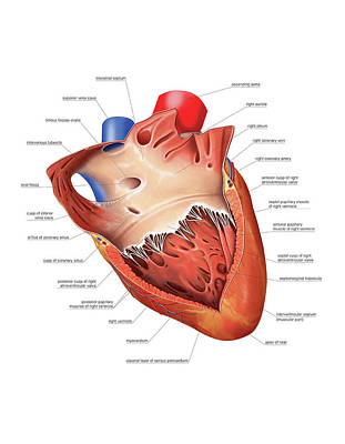 Heart Atrium And Ventricle Art Print by Asklepios Medical Atlas
