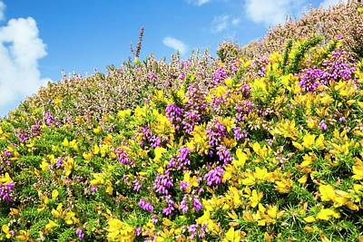 Heather And Gorse Flowering Print by Ashley Cooper