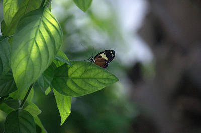Science Collection Rights Managed Images - Hecale Longwing Royalty-Free Image by Linda Kerkau