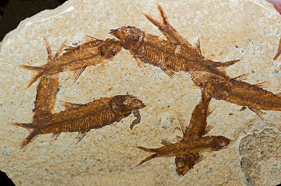 Photograph - Herring Fish Fossil by Millard H. Sharp