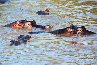 Photograph - Hippopotamus Group In River. Serengeti. Tanzania. by Michal Bednarek