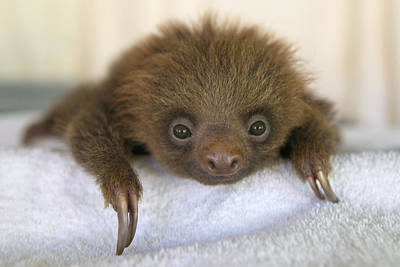 Photograph - Hoffmanns Two-toed Sloth Orphan by Suzi Eszterhas