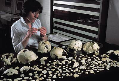 Lineage Photograph - Hominin Skulls From Sima De Los Huesos by Javier Trueba/msf