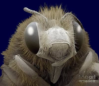 Photograph - Honey Bee Sem by Steve Gschmeissner