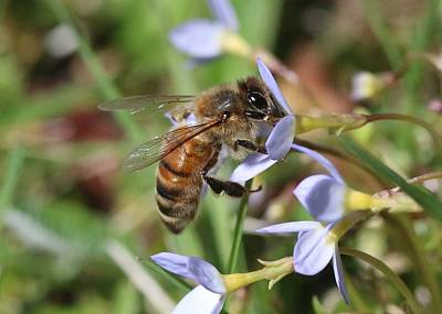 Photograph - Honeybee On Bluet by Lucinda VanVleck