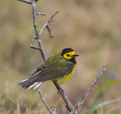 Photograph - Hooded Warbler by Doug Lloyd