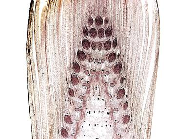 Pteridophyte Photograph - Horsetail (equisetum Telmateia) Bud by Dr Keith Wheeler