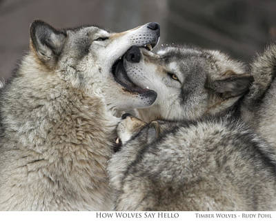 Wolf Photograph - How Wolves Say Hello by Rudy Pohl