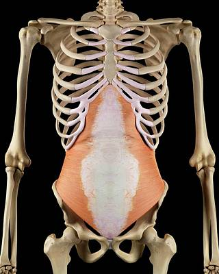 Abdomen Photograph - Human Abdominal Muscles by Sciepro