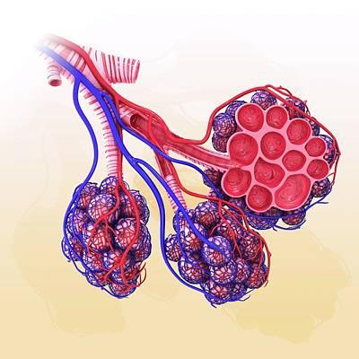 Terminal Photograph - Human Alveoli by Pixologicstudio