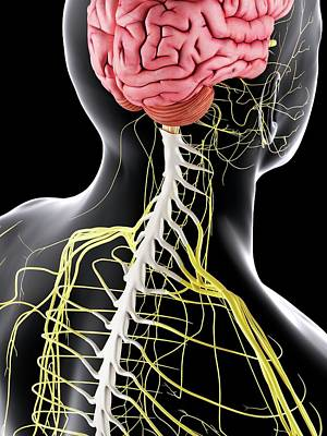 Internal Organs Photograph - Human Brain And Spinal Cord by Sciepro