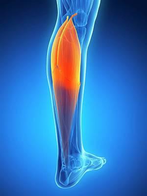 Rendering Photograph - Human Calf Muscle by Sebastian Kaulitzki