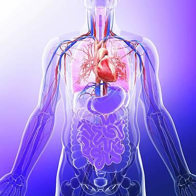 Biomedical Illustration Photograph - Human Cardiovascular System by Pixologicstudio