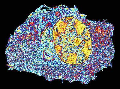 Human Cell Art Print by Alfred Pasieka