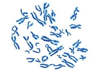 Inheritance Photograph - Human Chromosomes by Alfred Pasieka