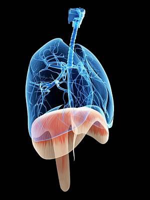 Airways Photograph - Human Diaphragm by Sebastian Kaulitzki