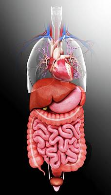 Biomedical Illustration Photograph - Human Internal Organs by Pixologicstudio