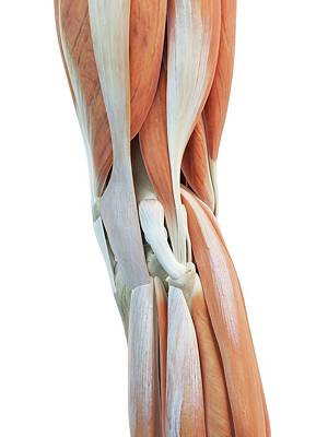 Human Knee Muscles Art Print by Sciepro