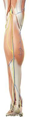 Human Leg Anatomy Art Print