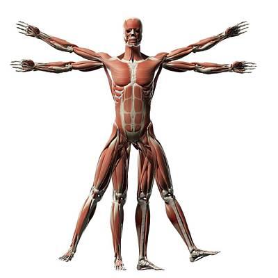 Biomedical Illustration Photograph - Human Muscular System by Sebastian Kaulitzki