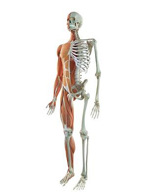 Cut-away Photograph - Human Musculoskeletal System by Sciepro