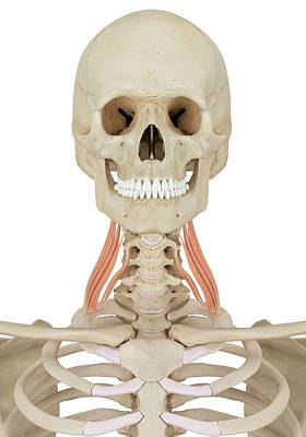 Biomedical Illustration Photograph - Human Neck Muscles by Sciepro