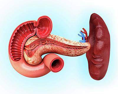 Biomedical Illustration Photograph - Human Pancreas by Pixologicstudio