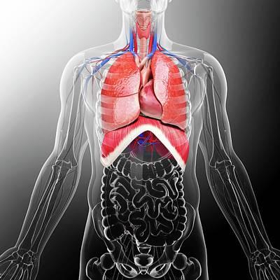 Biomedical Illustration Photograph - Human Respiratory System by Pixologicstudio