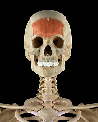 Human Skull Muscles Art Print by Sciepro