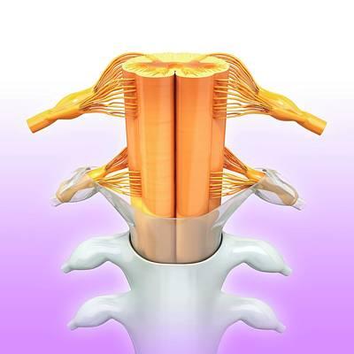 Biomedical Illustration Photograph - Human Spinal Chord by Pixologicstudio