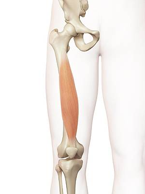 Biomedical Illustration Photograph - Human Thigh Muscle by Sciepro