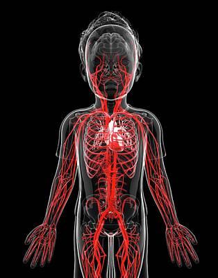 Internal Organs Photograph - Human Vascular System by Pixologicstudio