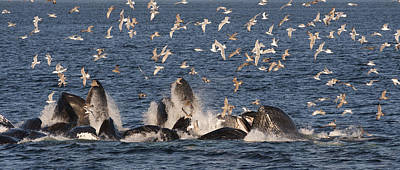 Flying Whale Photograph - Humpback Whales Feeding With Gulls by Flip Nicklin