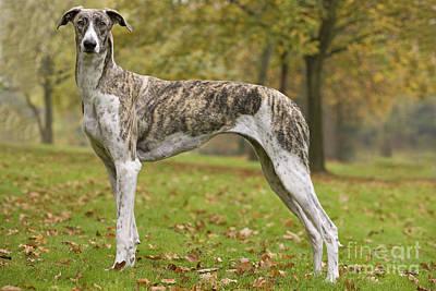 Brindle Photograph - Hungarian Greyhound by Jean-Michel Labat