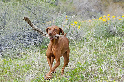 Dog Retrieving Photograph - Hungarian Vizsla Retrieving A Stick by William H. Mullins