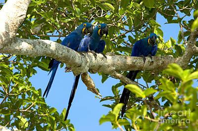 Hyacinth Macaws, Brazil Art Print by Gregory G. Dimijian, M.D.