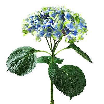 Sensitivity Photograph - Hydrangea Flower And Soil Acidity by Science Photo Library