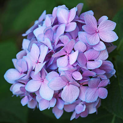 Purple Hydrangeas Photograph - Hydrangea by Rona Black