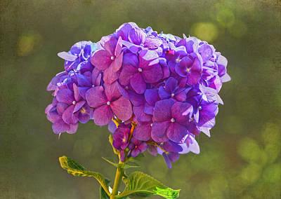 Photograph - Hydrangea by Sandi OReilly