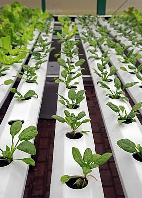 Spinach Photograph - Hydroponic Spinach At A Hospital Farm by Jim West