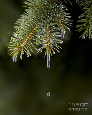 Natural Abstract Photograph - Ice Cicles Melting On A Pine Branch by Twenty Two North Photography