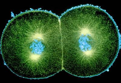 Immunofluorescent Micrograph Of Sea Urchin Mitosis Art Print